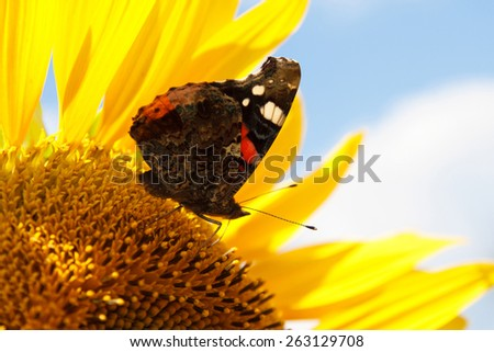 butterfly on sunflower - stock photo