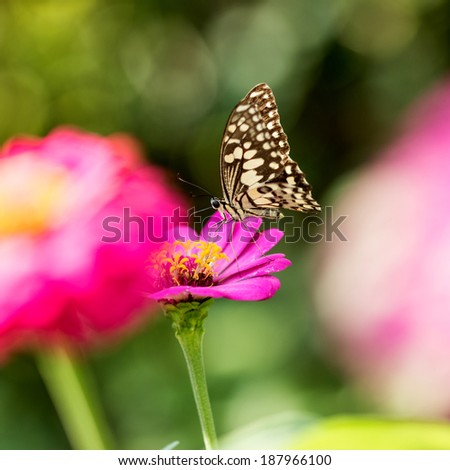 Butterfly on the Zinnia  flower