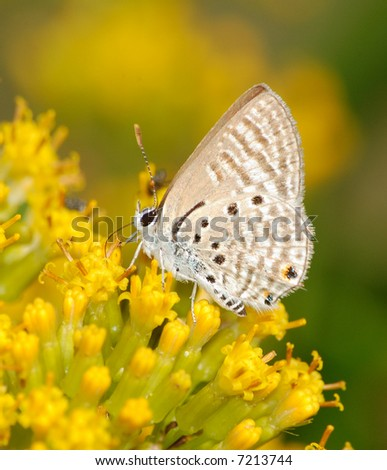Butterfly on yellow flowers - stock photo