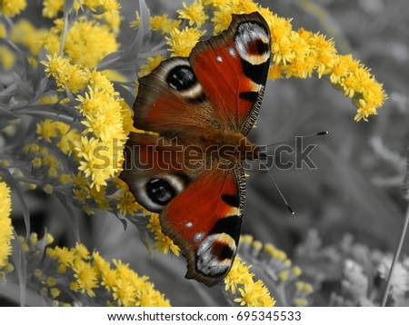 Butterfly on yellow flowers on a black and white background