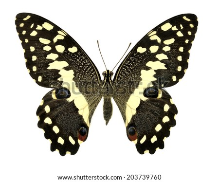 Butterfly Papilio demodocus (Clipping path) - stock photo