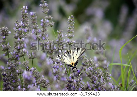 Butterfly Papilio Machaon in lavander field - stock photo