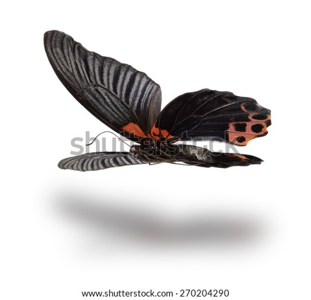 Butterfly (Papilio rumanzovia, male) in flight. Isolated on white background.