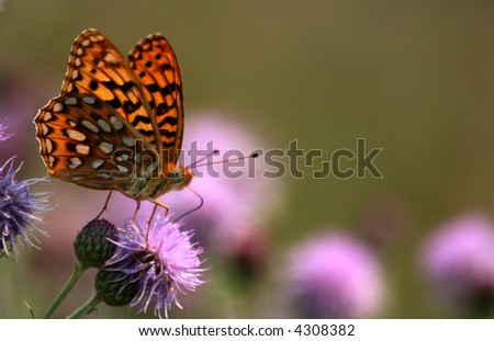 Butterfly perched on thistle in Idaho forest