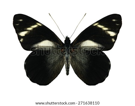 Butterfly Pereute telthusa (underside) on a white background - stock photo