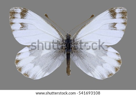 Butterfly Pieris mahometana on a black background