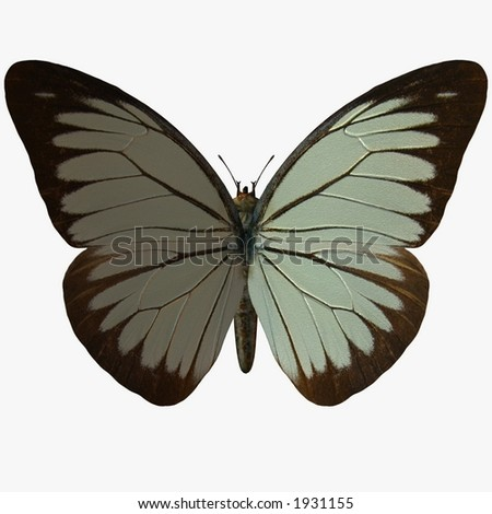 Butterfly-Pine White - stock photo