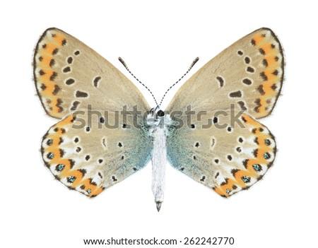 Butterfly Plebejus argyrognomon (female) (underside) on a white background - stock photo