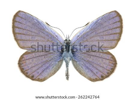 Butterfly Plebejus argyrognomon (male)on a white background - stock photo
