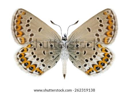Butterfly Plebejus idas (female) (underside) on a white background - stock photo