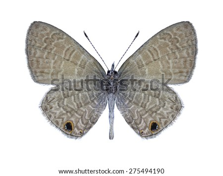 Butterfly Prosotas dubiosa indica (male) (underside) on a white background - stock photo