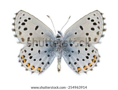 Butterfly Pseudophilotes vicrama schiffermulleri (male) (underside) on a white background - stock photo