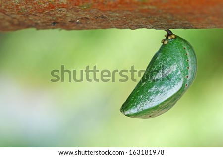 butterfly pupa is under the wood - stock photo