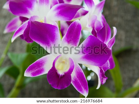 Butterfly purple orchid flower,peach Butterfly orchid flower blooming in the garden - stock photo