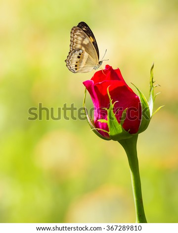 Butterfly resting on red rose flower - stock photo