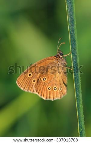 Butterfly - Ringlet (Aphantopus hyperantus) covered morning dew. Macro - stock photo