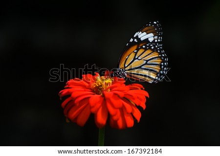Butterfly seeking nectar on a flower isolated on black background