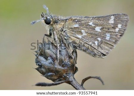 butterfly: Silver-spotted Skipper (Hesperia comma)