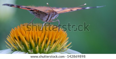 Butterfly sipping nectar from a white echinacea coneflower. - stock photo