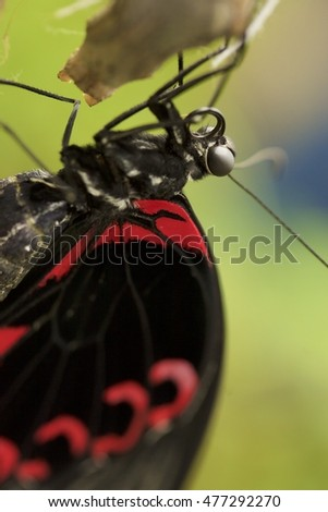 Butterfly sitting. Details of butterfly with black and red wings