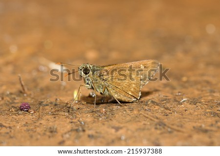 Butterfly Skippers (Hesperiidae)  - stock photo