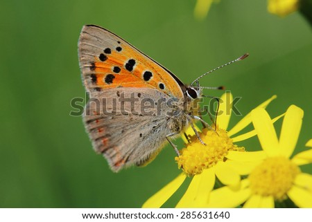 Butterfly - Small Copper (Lycaena phlaeas) on the meadow. Macro - stock photo