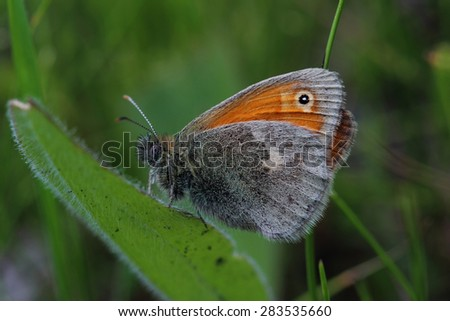 Butterfly - Small heath (Coenonympha pamphilus). Closeup - stock photo