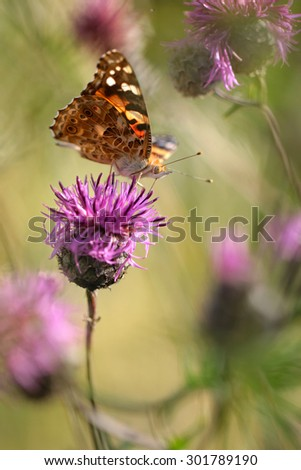 """Butterfly species Vanessa cardui """"Painted Lady"""" - stock photo"""