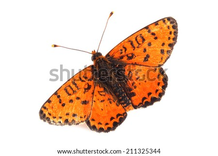 Butterfly - Spotted Fritillary (Melitaea didyma) on white  - stock photo