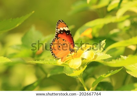 Butterfly sucking nectar from a yellow  flower  - stock photo