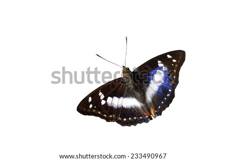 "Butterfly Thailand ""Indian Purple Emperor"""