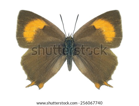 Butterfly Thecla betulae (female) on a white background - stock photo