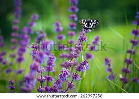 Butterfly (Tirumala hamata orientalis) on a violet wild flower - stock photo