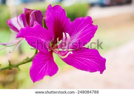 Butterfly Tree, Orchid Tree, Purple Bauhinia - stock photo