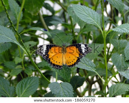 Butterfly with Outstretched Wings - stock photo