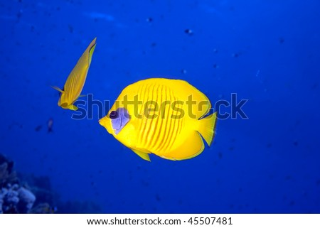 butterflyfish and ocean - stock photo