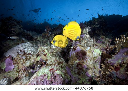 butterflyfish , coral and ocean