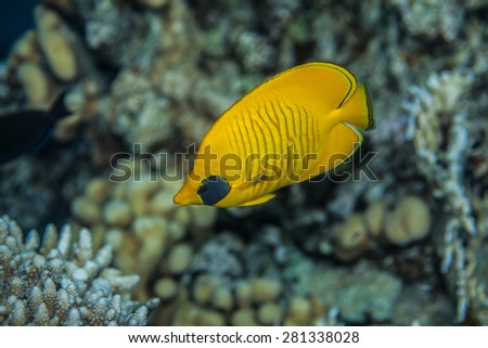 Butterflyfish swiminng near the stone wall of Red Sea coral reef - stock photo