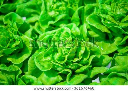 Butterhead Lettuce - stock photo