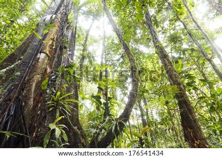 Buttressed rainforest tree with lianas, looking up to the canopy, Ecuador