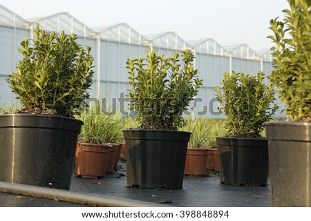 buxes potted at a greenhouse - stock photo