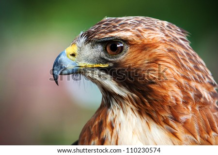 Buzzard - stock photo