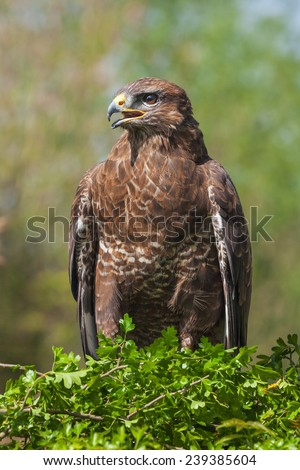Buzzard in hawthorn. A common buzzard is seen with its beak agape as it stands in a hawthorn tree. - stock photo