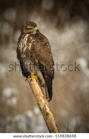 Buzzard sitting on a pole in winter forest