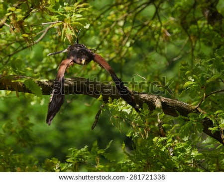 Buzzard sitting on the branch of a densely-leaved tree
