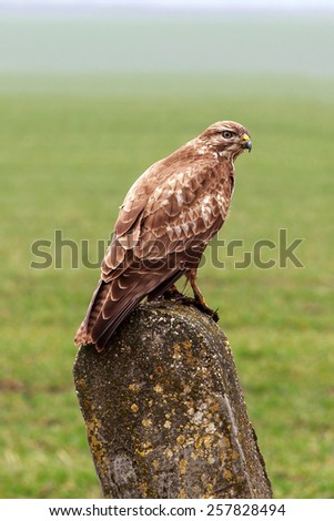 Buzzard spring wild out in nature. - stock photo