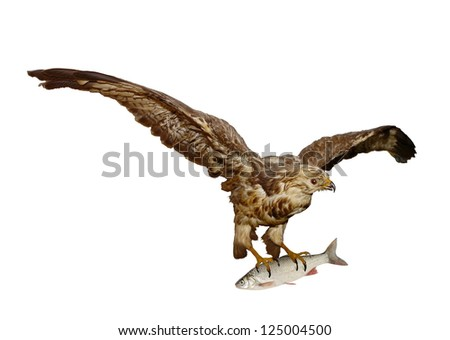 buzzard with fish on white background - stock photo