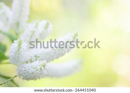 Byttneria flower - stock photo