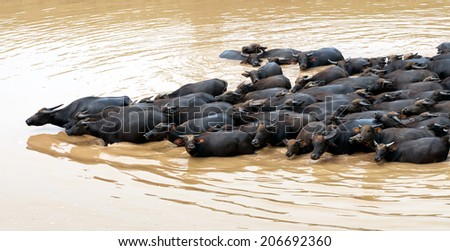 CA MAU, JULY, 29: River area south of Vietnam, people the drop buffalo freedom on JULY, 29, 2013 in, Ca Mau, VietNam. - stock photo