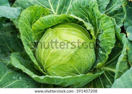 cabbage - stock photo